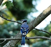 Singing The Blues - Blue Jay by Debbie Oppermann