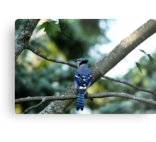 Singing The Blues - Blue Jay Metal Print