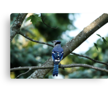 Singing The Blues - Blue Jay Canvas Print