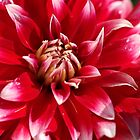 Bright Red Dahlia by Joy Watson