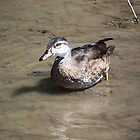 Female Wood Duck by peggywright