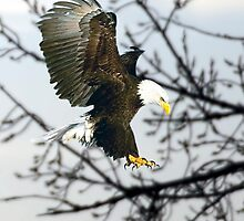 BALD EAGLE by Charlene Aycock