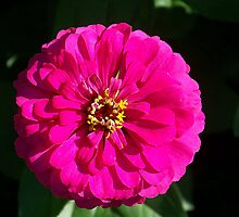 Pink Zinnia by peggywright