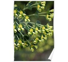 Unique Nature - Mediterranean spurge Poster