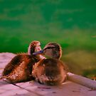 Baby Mallard ducklings. by Nancy Stafford