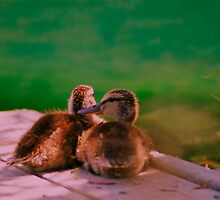 Baby Mallard ducklings. by Nancy Stafford
