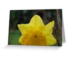 yellow daffodil macro Greeting Card