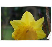 yellow daffodil macro Poster