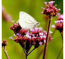 white wings Photographic Print