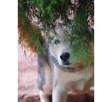 HuskyView  Photographic Print