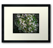 Lucerne Tree - Spring, Australia 2010 Framed Print