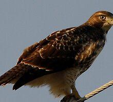 "Broad-Winged Hawk closeup"" Shot Of My Day!! by John McCracken"