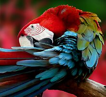 Scarlet Macaw. by JulieM