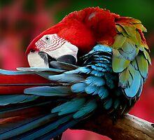 Scarlet Macaw. by JulieM