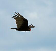 Turkey Vulture by David Friederich