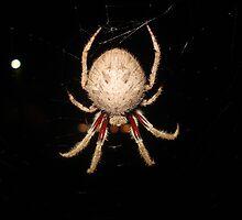 Garden Orb-Weaving Spider close up by gen1977