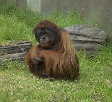 Orangutan - Adelaide Zoo by Robert Jenner