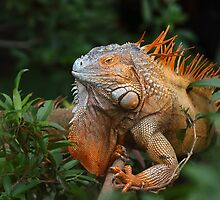 Green Iguana by Jim Cumming