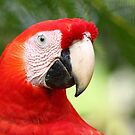 Scarlet  Macaw by Jim Cumming