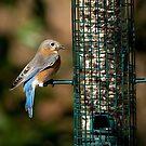 Backyard Blue Bird by imagetj
