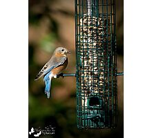 Backyard Blue Bird Photographic Print