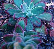 Succulant 2 by Sharon Robertson