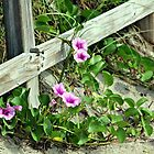 Morning Glories on the Beach by DeeZ (D L Honeycutt)