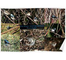 Blue Wrens - Laratinga Wetlands - Mt Barker Poster