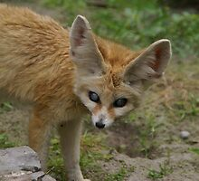 Fennecus Zerda by Glitter