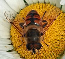 Hover Fly by BigD