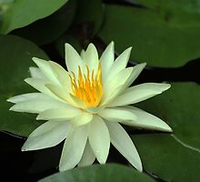 Yellow Water Lily by Debbie Oppermann