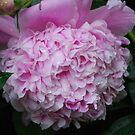 Soft Pink Peony by Lynda   McDonald