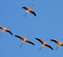 Greater Flamingos in Flight by David Clark