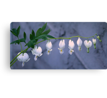 White Bleeding Heart Canvas Print