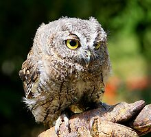 Screech-owl by jdmphotography