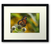 Viceroy Butterfly Framed Print