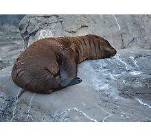 Brownie Sea Lion Photographic Print Photographic Print