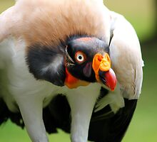 King Vulture by jdmphotography