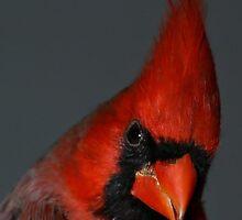 Cardinal Macro by Samantha Dean