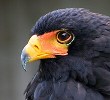 Bateleur Eagle Portrait by jdmphotography