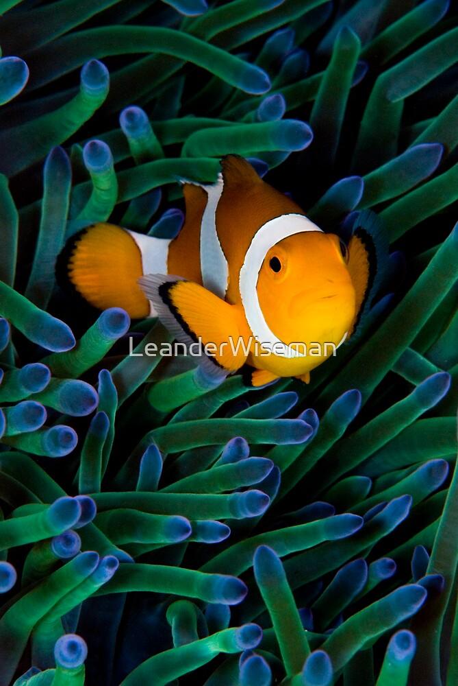 Anemonefish V by LeanderWiseman