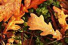 Oak Leaves. by Todd Rollins