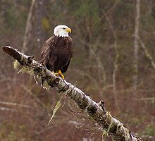 Skagit River Bald Eagle. by Todd Rollins