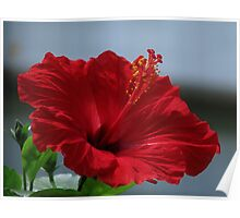 Painted Hibiscus Poster