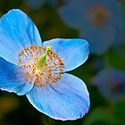 Blue poppy 2 by cclaude