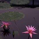 Two waterlilies by fauselr