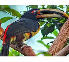 Pale-mandibled Aracari Photographic Print