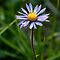 Alpine Aster by ToddDuvall