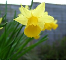 Images of spring - Daffodil by NikkiMatthews