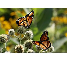 2 Viceroy Butterflies Photographic Print